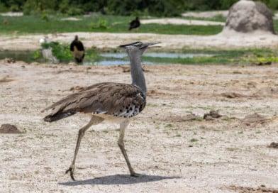 Botswanas Nationale vogel - Fotoalbum Botswana - www.edvervanzijnbed.nl/fotoalbum-botswana