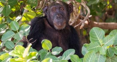 Chimpansee op Baboon island in Gambia. Foto uit het Fotoalbum Gambia op https://www.ervervanzijnbed.nl/