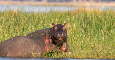 Hippopotamus amphibius capensis uit het Fotoalbum Zambia op www.edvervanzijnbed.nl